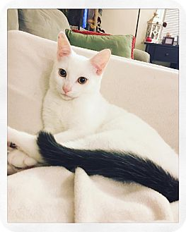 American Shorthair Kitten for adoption in Stamford, Connecticut - Lenny