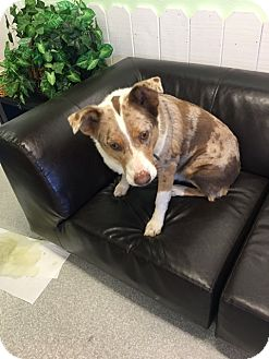 Australian Shepherd Mix Dog for adoption in Sonora, California - CHAZ