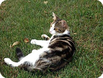 Domestic Shorthair Cat for adoption in Wilmore, Kentucky - Herschel