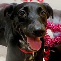 Adopt A Pet :: HARLEY - Little Rock, AR