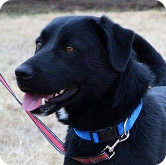 Labrador Retriever Mix Dog for adoption in Elgin, Oklahoma - Butch Cassidy