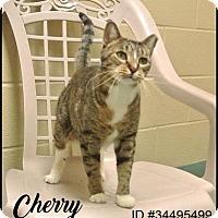 Adopt A Pet :: Cherry - Irving, TX