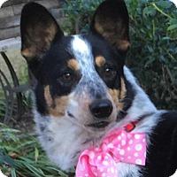 Adopt A Pet :: Maggie May - Dallas, TX