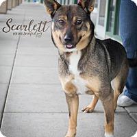 Adopt A Pet :: Scarlett - Newport, KY