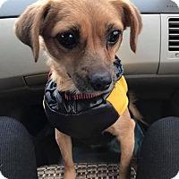 Adopt A Pet :: CLARA - Sherman Oaks, CA