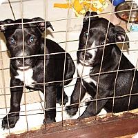 Adopt A Pet :: Lexus - Little River, SC