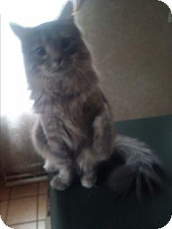 Domestic Mediumhair Kitten for adoption in Palatine, Illinois - Laurel