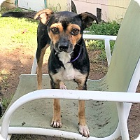 Adopt A Pet :: Delilah - San Antonio, TX
