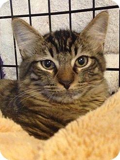 Turkish Angora Kitten for adoption in Monroe, Georgia - Beacon