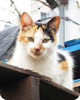 Calico Cat for adoption in Brooklyn, New York - Simona
