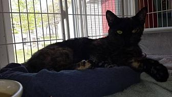 Domestic Shorthair Cat for adoption in Iroquois, Illinois - Jazz