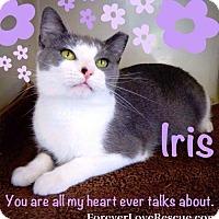 Adopt A Pet :: Iris - Gettysburg, PA