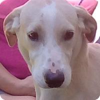 Adopt A Pet :: Lemondrop - Orlando, FL