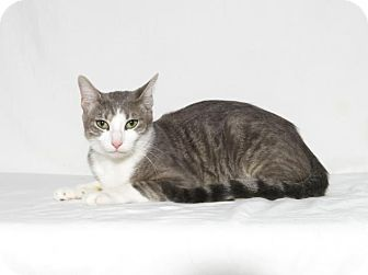 Domestic Shorthair Cat for adoption in Lufkin, Texas - Phoebe