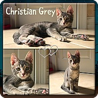 Adopt A Pet :: Christian Grey - Jeffersonville, IN