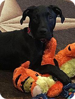 Labrador Retriever/Great Dane Mix Puppy for adoption in McKinney, Texas - REMI