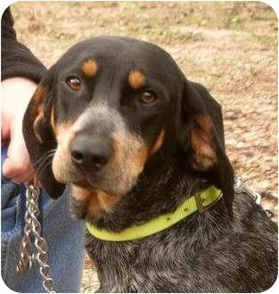 Bluetick Coonhound Dog for adoption in Dallas, Texas - Wyatt