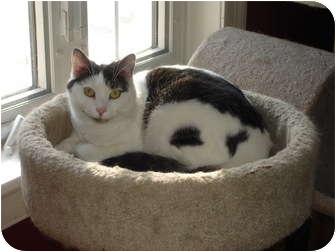 Domestic Shorthair Cat for adoption in Chesapeake, Virginia - Cissy