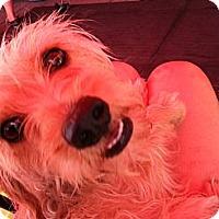 Adopt A Pet :: Sarabella - North Hollywood, CA