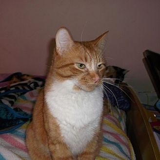 Domestic Shorthair Cat for adoption in Mississauga, Ontario, Ontario - Regent