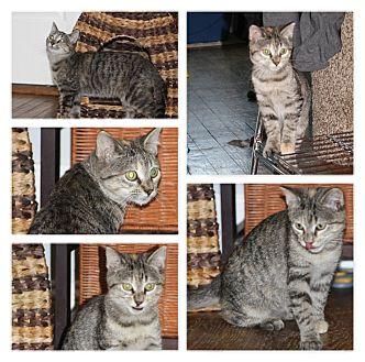 Domestic Shorthair Kitten for adoption in Hayes, Virginia - Millie