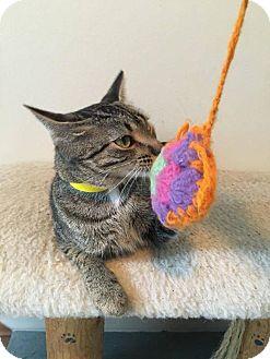 Domestic Shorthair Cat for adoption in Hanna City, Illinois - Vida