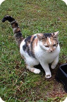 Domestic Shorthair Cat for adoption in Carthage, North Carolina - Lotus