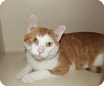 Domestic Mediumhair Cat for adoption in Cheboygan, Michigan - 20538
