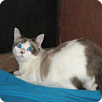 Snowshoe Cat for adoption in Bulverde, Texas - Sapphire 3