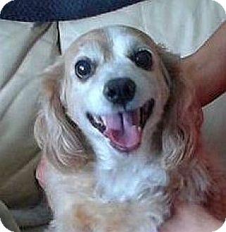 Cocker Spaniel Dog for adoption in Mississauga, Ontario - Chelsea-adoptiong pending