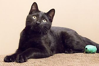 Domestic Shorthair Cat for adoption in Chicago, Illinois - Matou