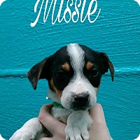 Adopt A Pet :: Missie - Oxford, CT