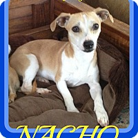 Adopt A Pet :: NACHO - Mount Royal, QC