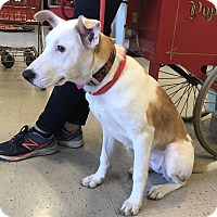 Adopt A Pet :: A - BELLE - Raleigh, NC
