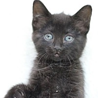 Adopt A Pet :: Sage II - Raleigh, NC