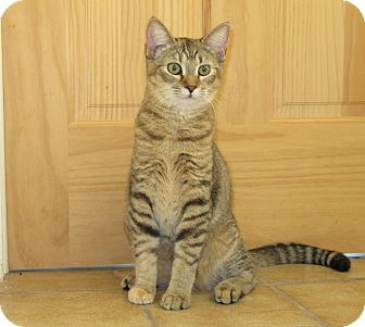 Domestic Shorthair Cat for adoption in Lighthouse Point, Florida - Sarah