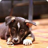 Adopt A Pet :: Sherlock - Sacramento, CA