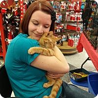 Domestic Shorthair Kitten for adoption in Medford, New York - Pumpkin