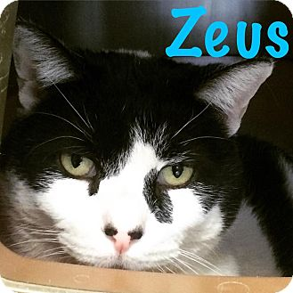 Domestic Shorthair Cat for adoption in La Grange Park, Illinois - Zeus