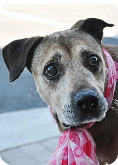 Black Mouth Cur Mix Dog for adoption in Ormond Beach, Florida - Bailey