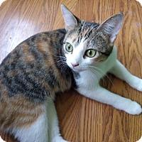 Domestic Shorthair Cat for adoption in Covington, Kentucky - Keiko