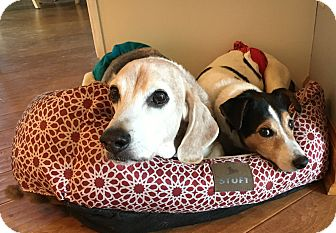 Beagle Dog for adoption in Pittsburgh, Pennsylvania - Orie