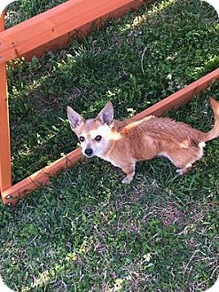 Chihuahua Mix Dog for adoption in Nixa, Missouri - Little Bit # 840