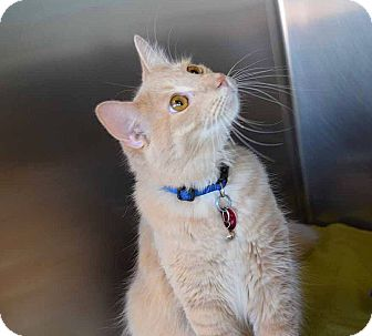 Domestic Shorthair Cat for adoption in Sierra Vista, Arizona - Hutch