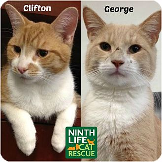 Domestic Shorthair Cat for adoption in Oakville, Ontario - George & Clifton