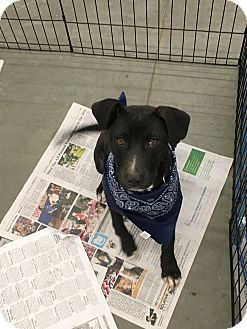 Labrador Retriever Mix Puppy for adoption in Patterson, New York - Zayne