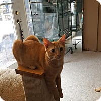 Adopt A Pet :: Little Red (teenage male) - Harrisburg, PA