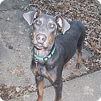 Adopt A Pet :: Dobson--adopted! - New Richmond, OH