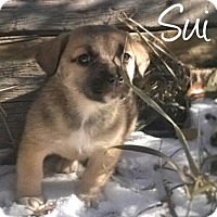 Adopt A Pet :: Sui - Greeley, CO