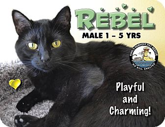 Domestic Shorthair Cat for adoption in Davenport, Iowa - Rebel
